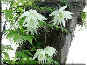 Растение спатифиллум желтые листья
